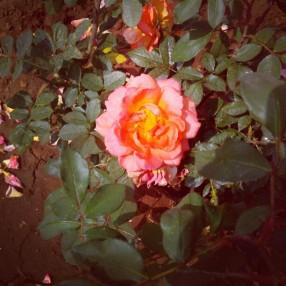 Jungli Rose