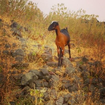 Gazing Goat