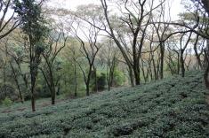 Mann Tea Estate
