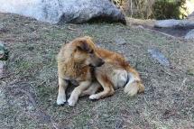 Bhalu - The mountain dog – darshangajara dot com